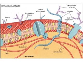 membran sel dan komponen penyusunnya