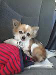 Poochie, Chihuahua