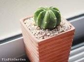 นูปด้า Echinopsis subdenudata