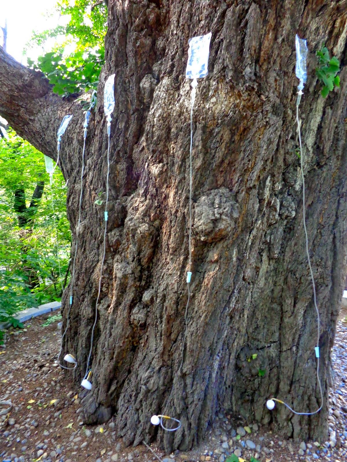 Tree with IVs Korea