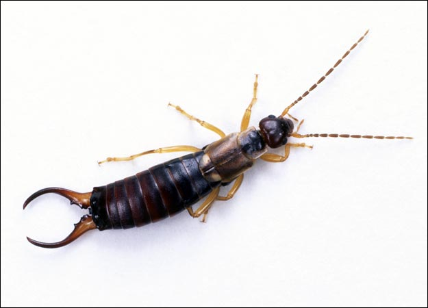 Tremendous Attempting A Chemical Free Life Dilemma Earwig Infestation Download Free Architecture Designs Rallybritishbridgeorg