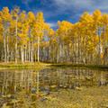 Pohon Aspen