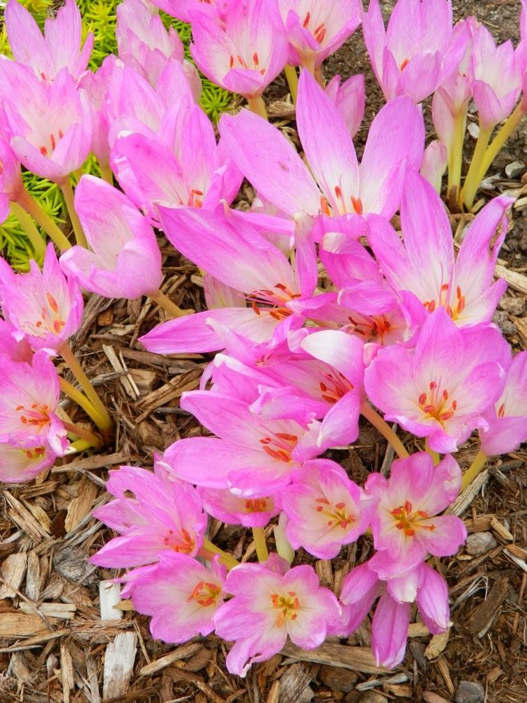Autumn crocus Colchicum autumnale Fall blooming perennials Garden muses--a Toronto gardening blog