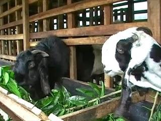Susu Bubuk Kambing Etawa