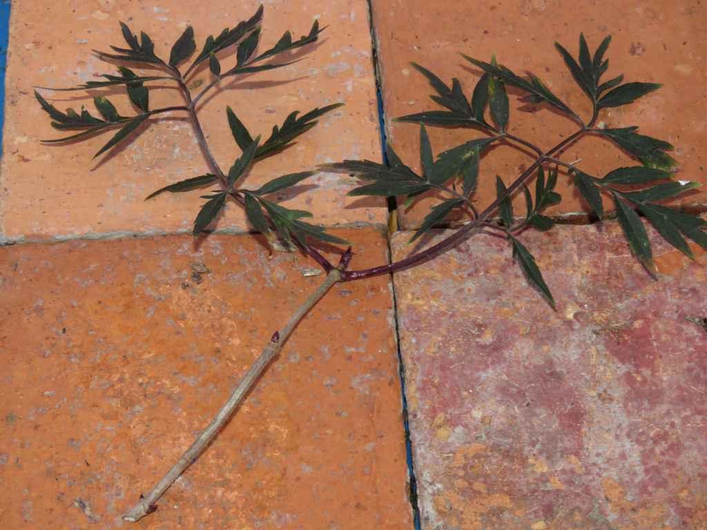 La bouture l touff e - Bouture de l hibiscus de jardin ...