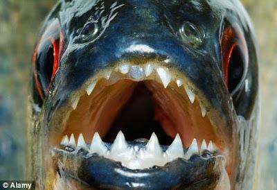 Remaja mabuk dibunuh oleh ikan Piranha di Bolivia