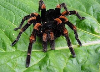 tarantula mexican red kneed wallpaper pets animal
