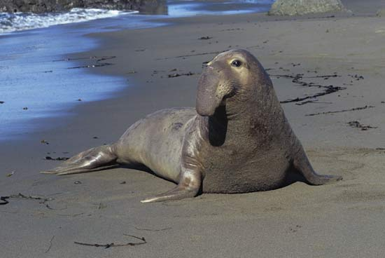 northern-elephant-seal.jpeg