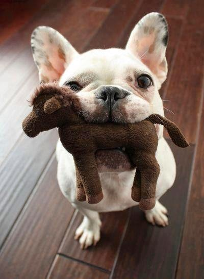 J' ♡ French Bouledogue!
