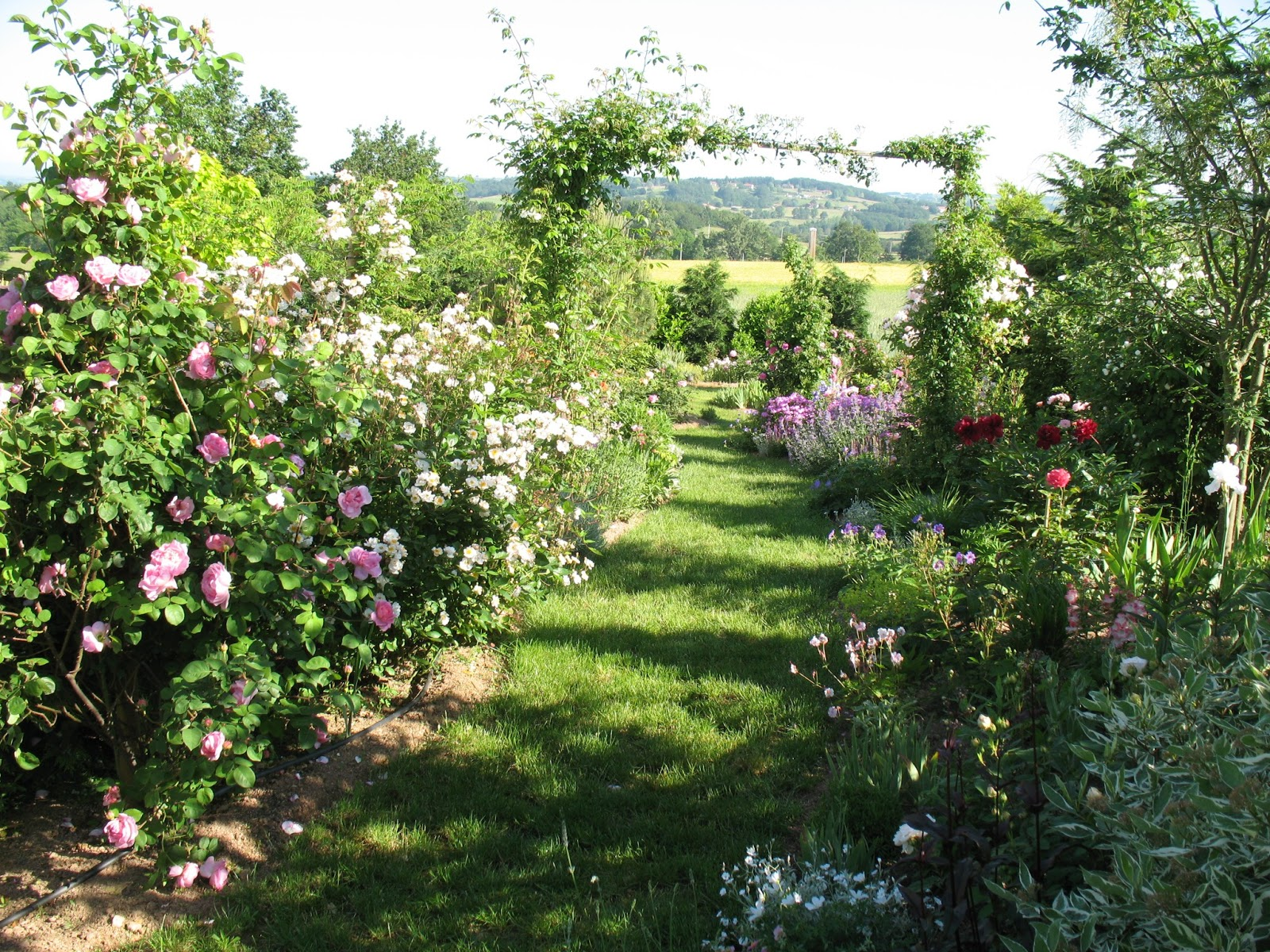 roses du jardin ch neland mon rosier rose pr f r. Black Bedroom Furniture Sets. Home Design Ideas