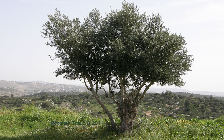 The Olive Tree - Neot Kedumim - 2010