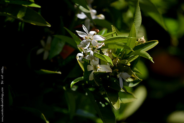 Orange Blossoms Fragrance Perfumes Air