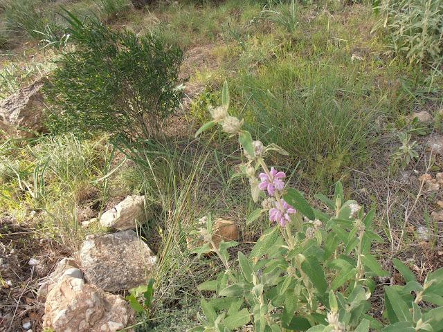 MATAGALLO: Phlomis purpurea