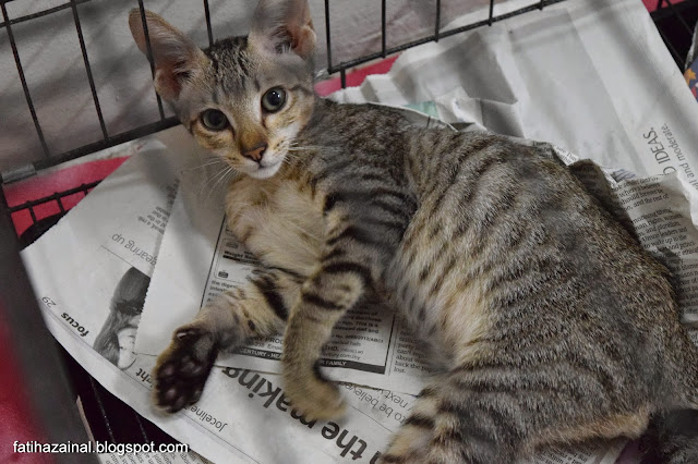 kucing terbiar