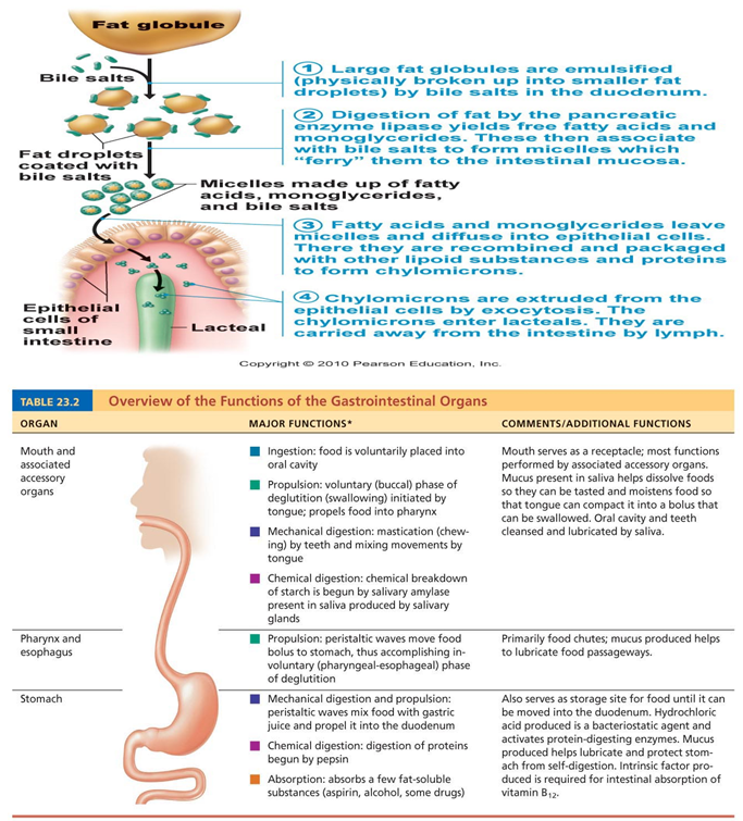 digestion and stomach