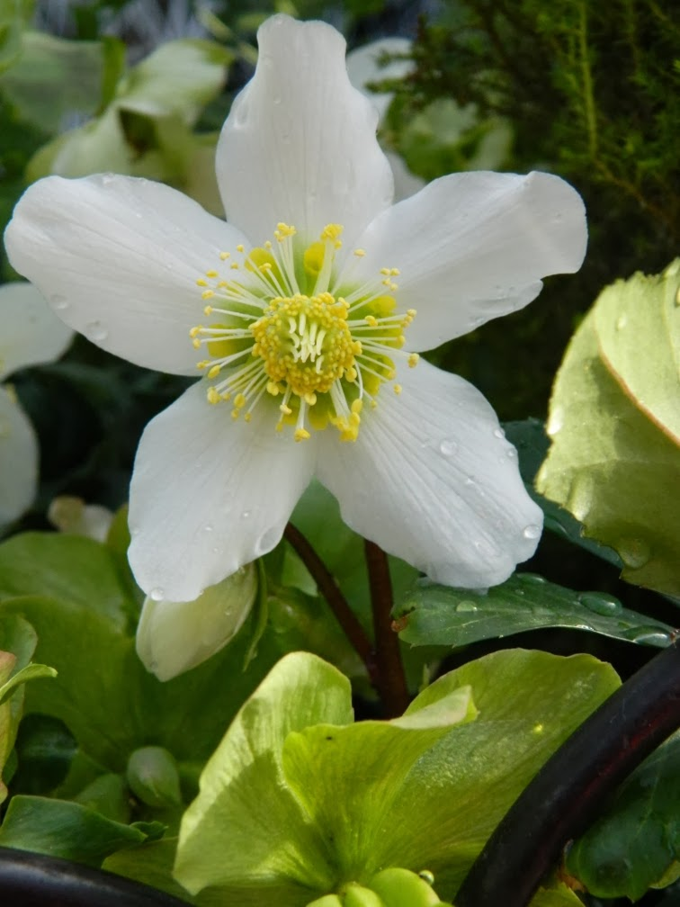 Allan Gardens Conservatory Spring Flower Show 2014 helleborus niger Jacob by garden muses-not another Toronto gardening blog