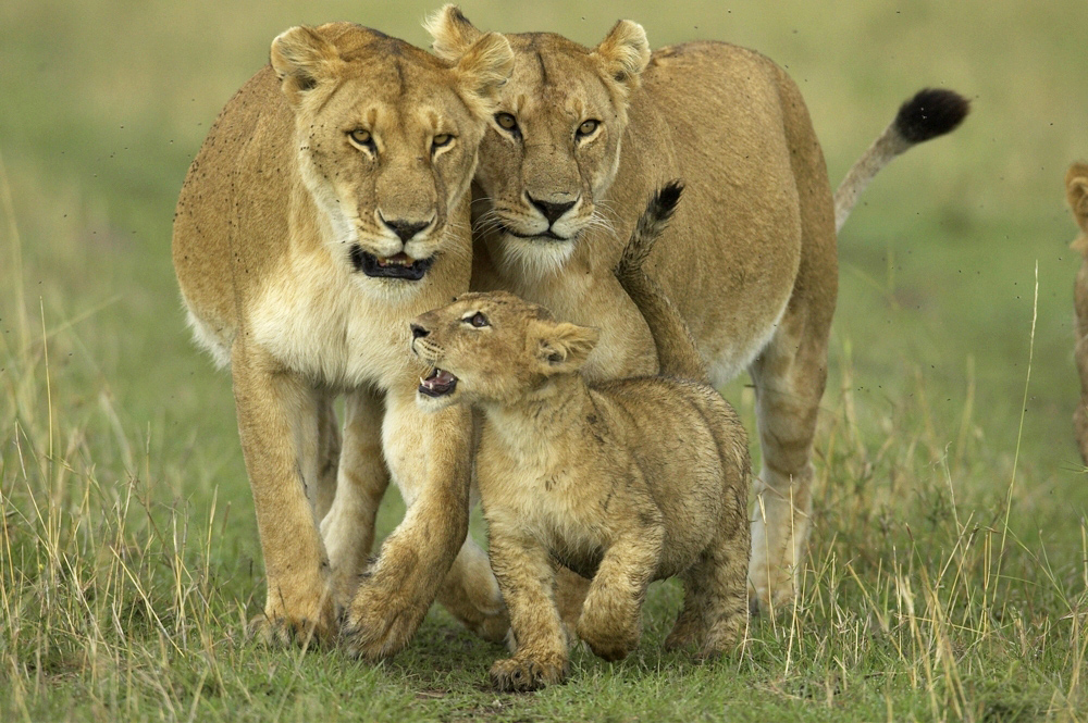 Lion cubs stay close to the lioness