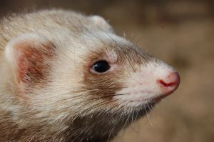 Fundamentalist evolutionists attack and misrepresent creationists very frequently. Also, there is a call for the evolutionary faithful to protect their religion of evolutionism. Many act like weasels.