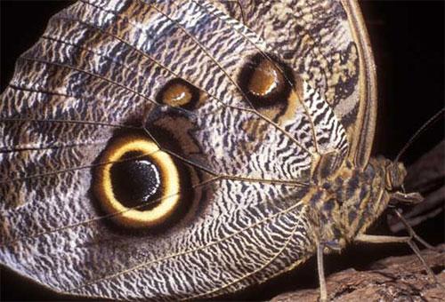 Totul despre fluturi: Kallima Inachus