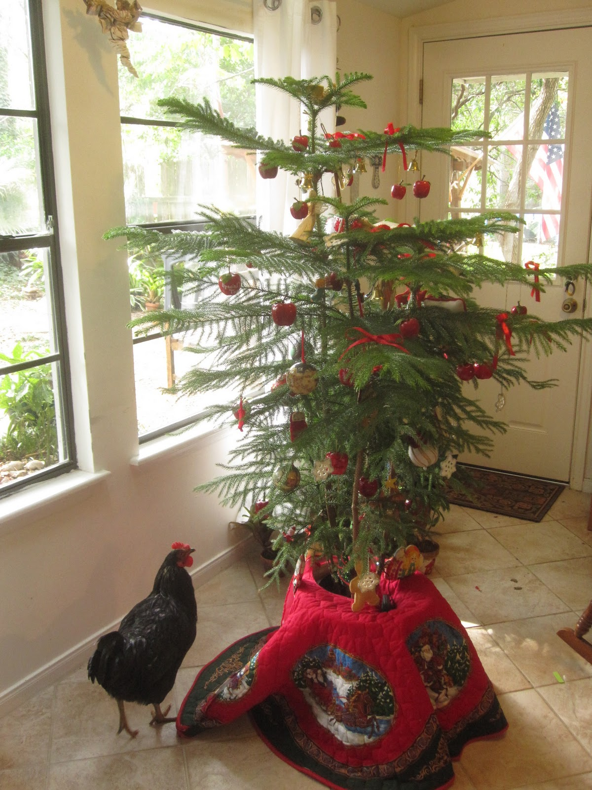 one of our pet chickens marco takes a look at our norfolk island pine christmas tree - Pine Christmas Tree