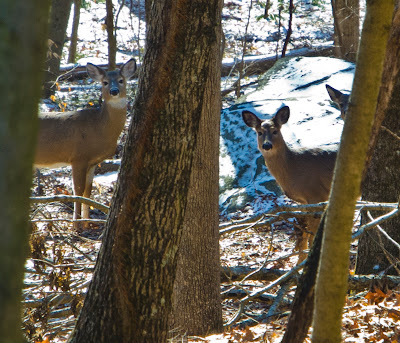 A family of deer on The Paugussett Trail Shelton Ct