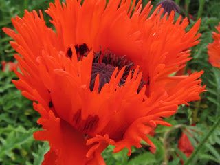 Red Poppy Burtown