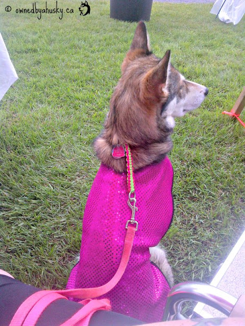 siberian husky in a cooling jacket