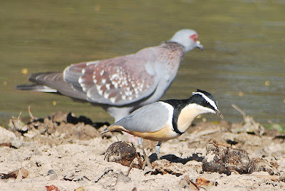 Egyptian plover bird and crocodile - photo#24