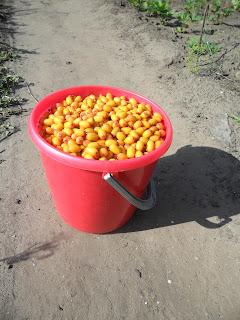 Урожай облепихи
