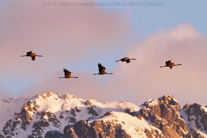 Grullas volando sobre Gredos en su regreso al norte de Europa