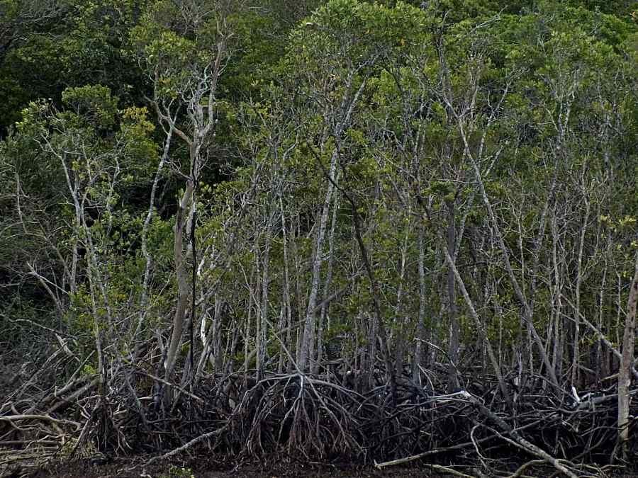 Rhizophora mangroves