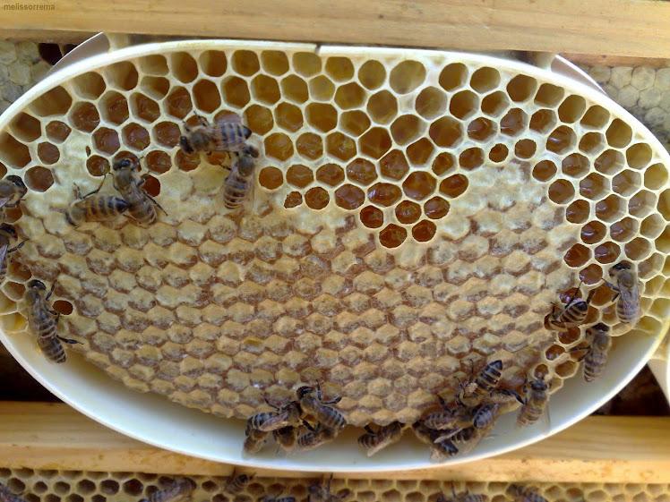 μελικηρίδιο
