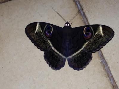 klein Krugerwild - vlinder