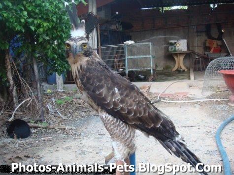 http://3.bp.blogspot.com/-G0JUCW24i_k/TyTTPc2b8tI/AAAAAAAAC80/cmaCaUzkvDc/s1600/Pictures%2Bof%2BMOUNTAIN%2BHAWK%2BEAGLE.jpg