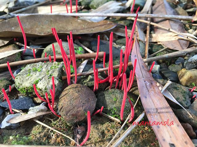 Coral Fungus, Thailand