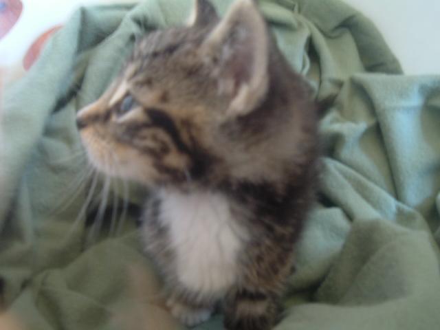 kitten boy or girl how to tell