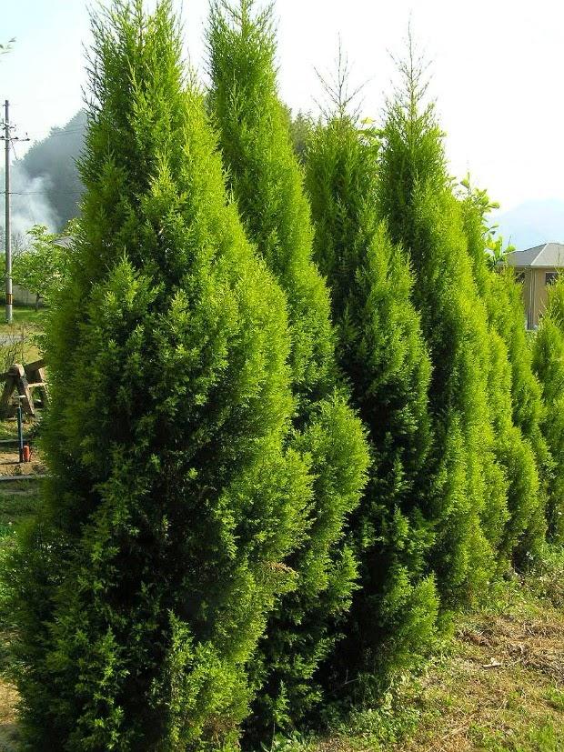 Las 7 con feras m s utilizadas como setos guia de jardin - Arbolitos para jardin ...