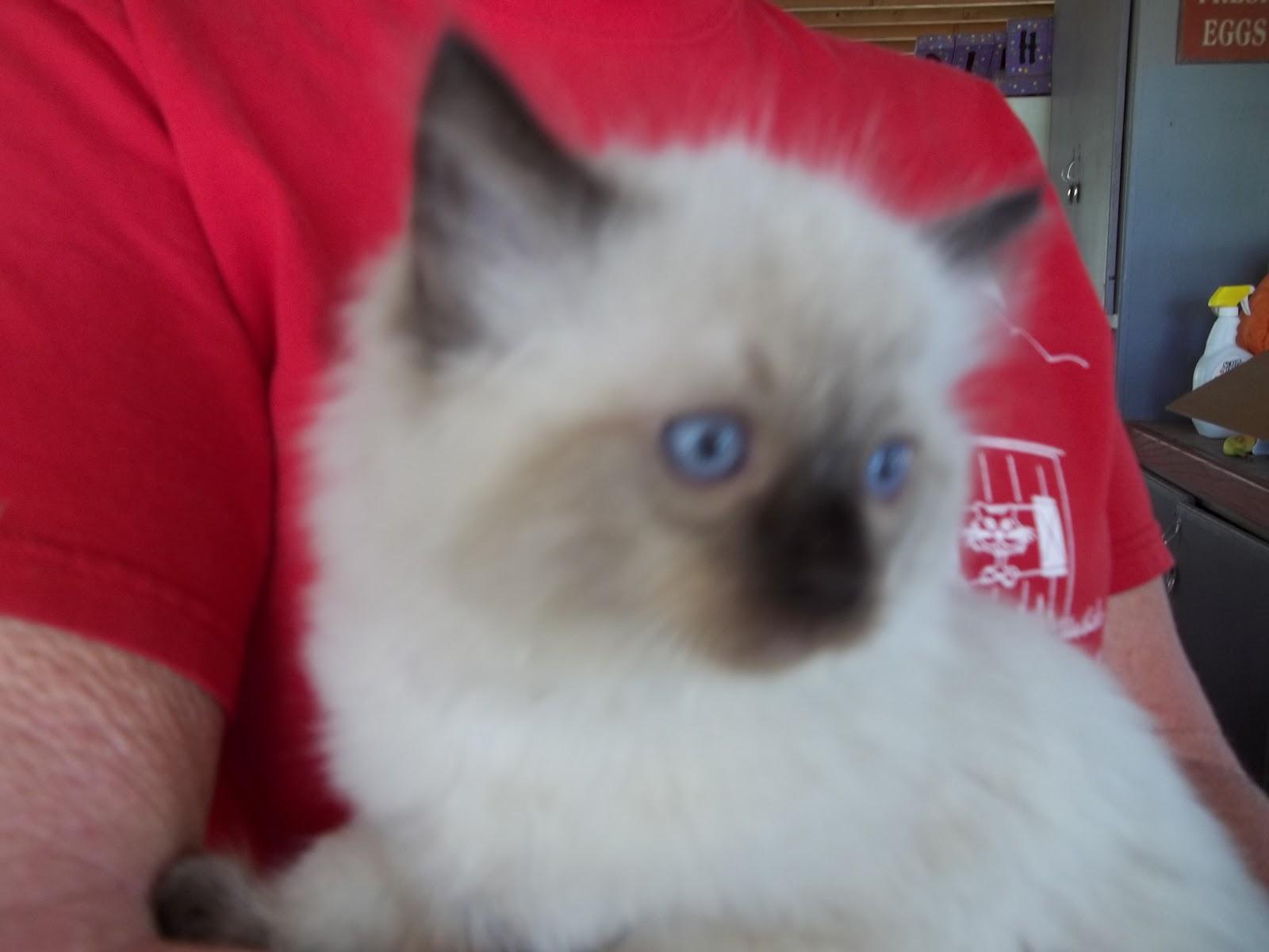 Sphynx Cat For Sale Michigan
