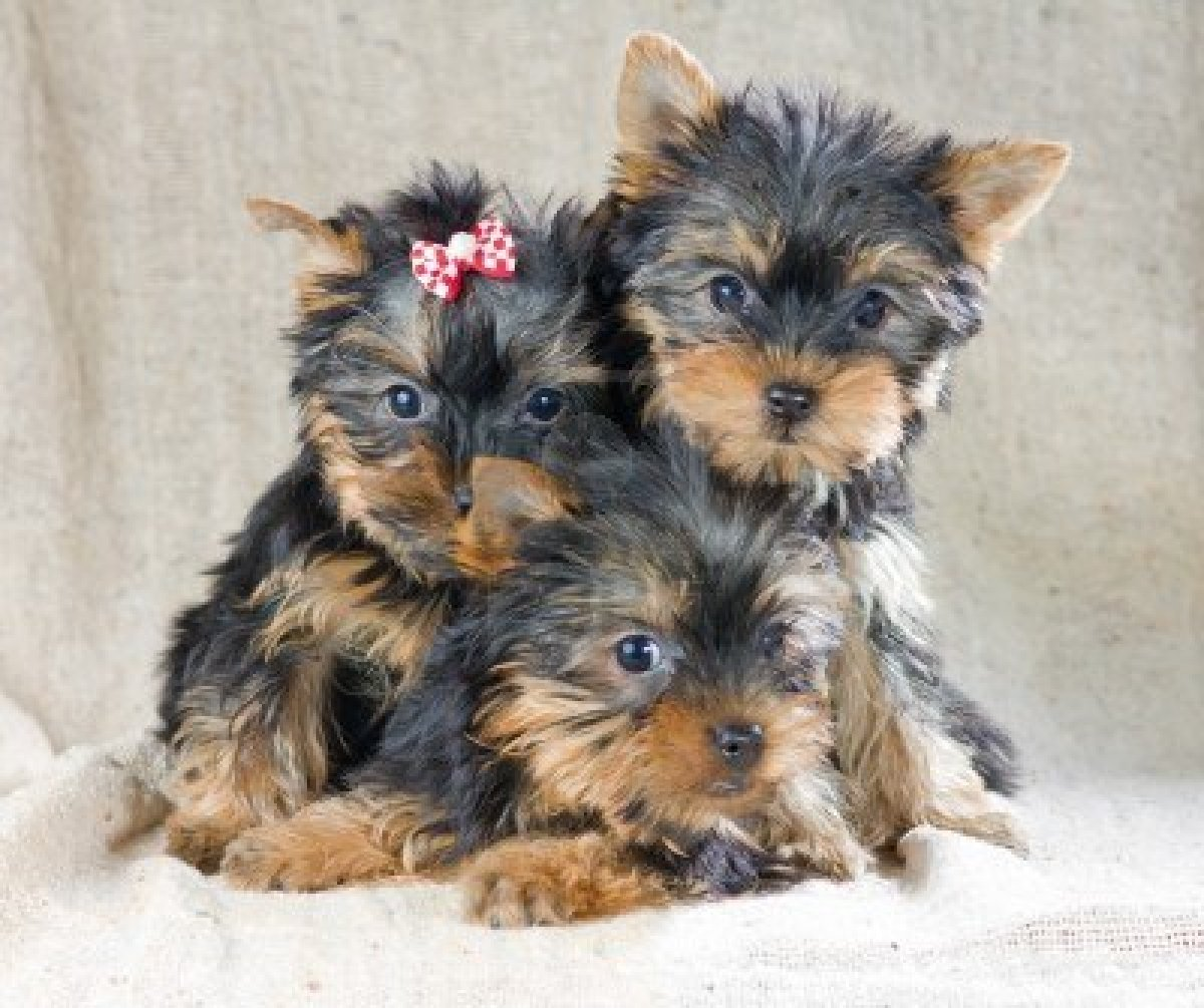 Cute Puppy Dogs: Yorks...