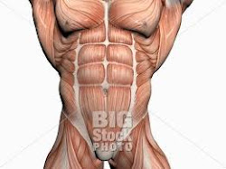 Abdominal and Pectoralis muscle