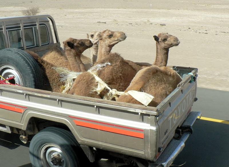 Radiocarbon dating camels