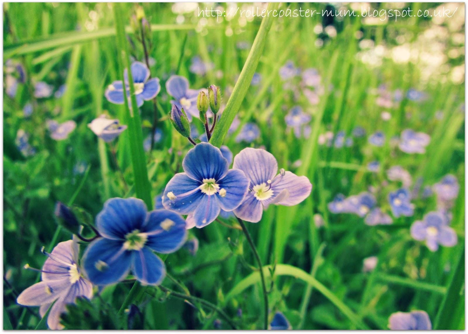 pretty blue Speedwell flowers