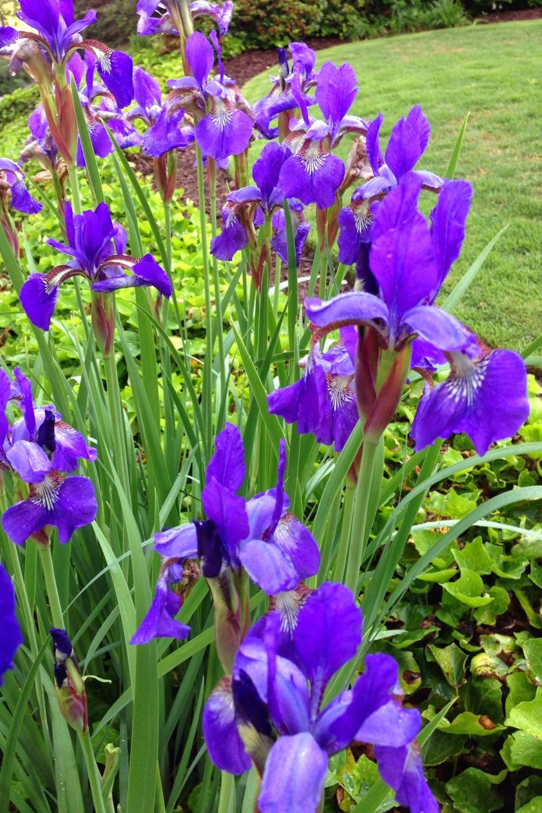 bluemopheads Iris