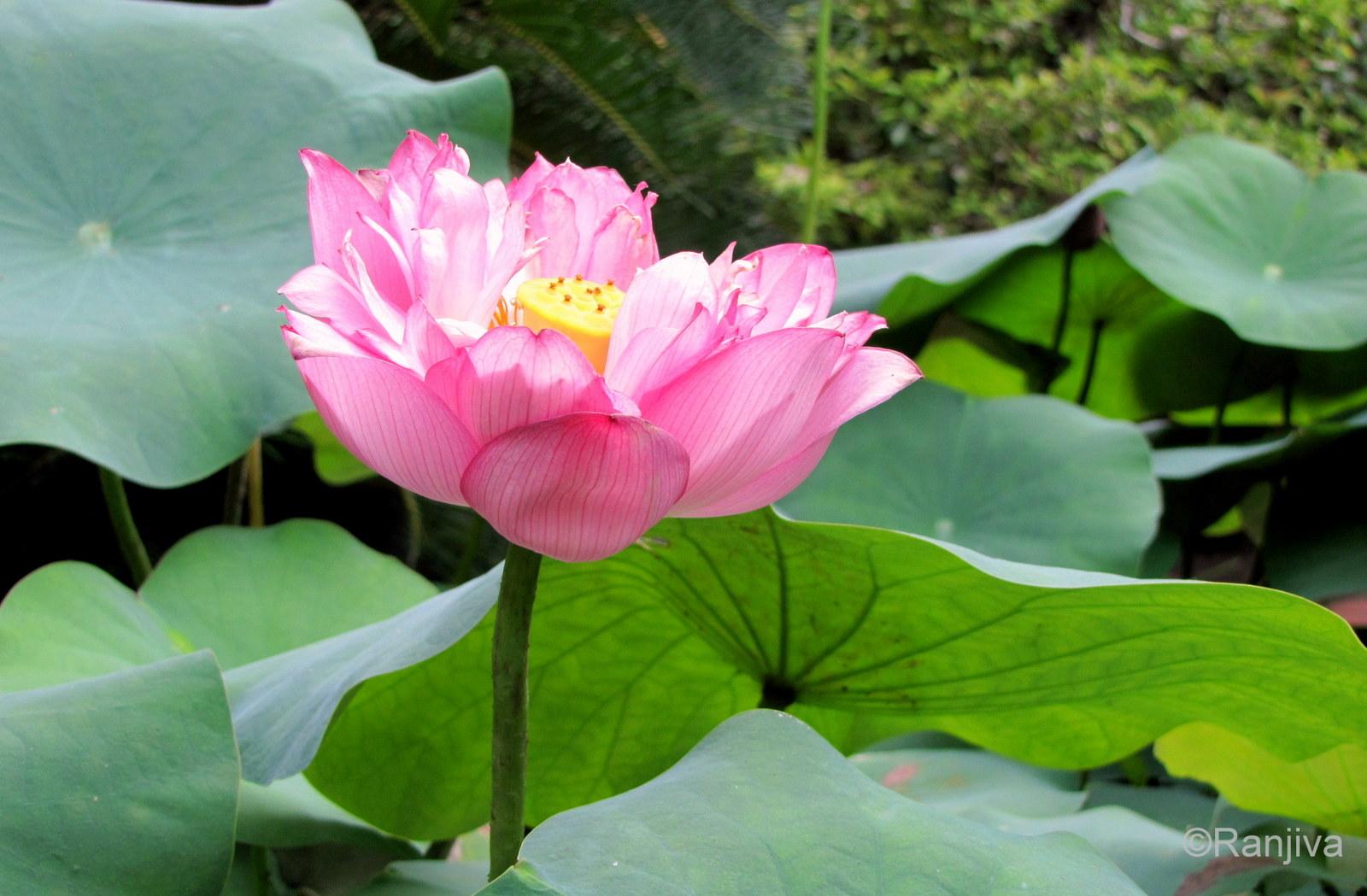 Le lotus une fleur enchanteresse paysages et fleurs au fil de l 39 eau - Image fleur de lotus ...