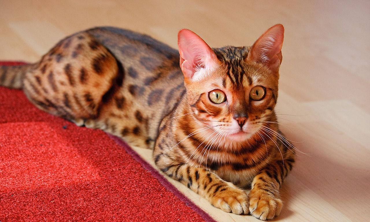 http://3.bp.blogspot.com/-G1hCMY1wpM0/T97WmAwCI1I/AAAAAAAAATM/01-k-5l7-B4/s1600/lying_bengal_cat_widescreen_wallpaper.jpg