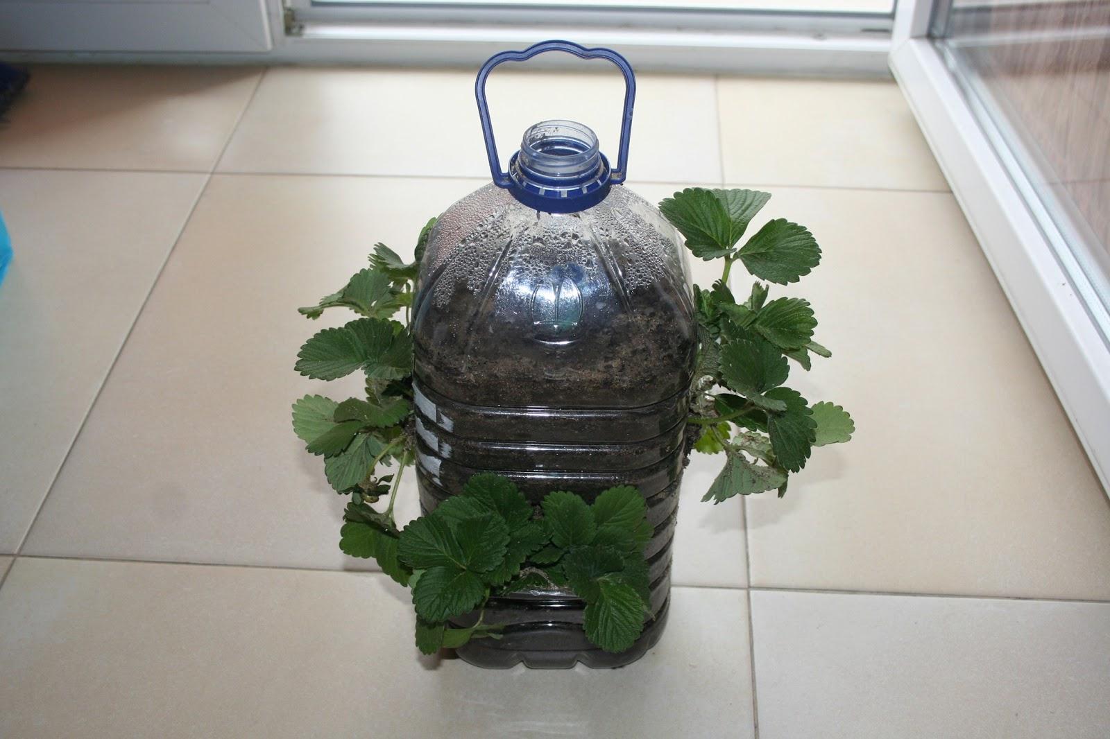 Amado Agricultura de Apartamento: Plantar morangos no seu apartamento KB26