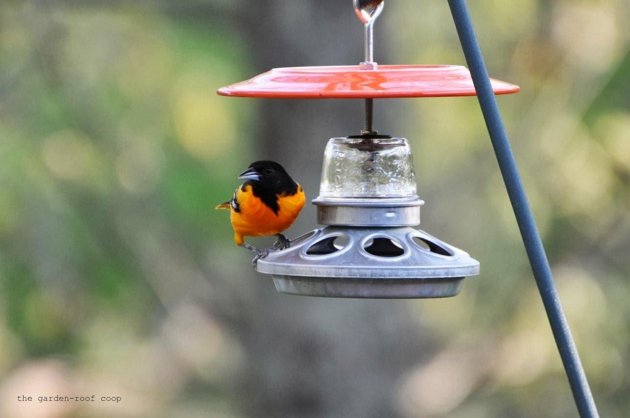 bird love fruit oriole songbird best feeder essentials house birds