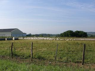 granja de patos