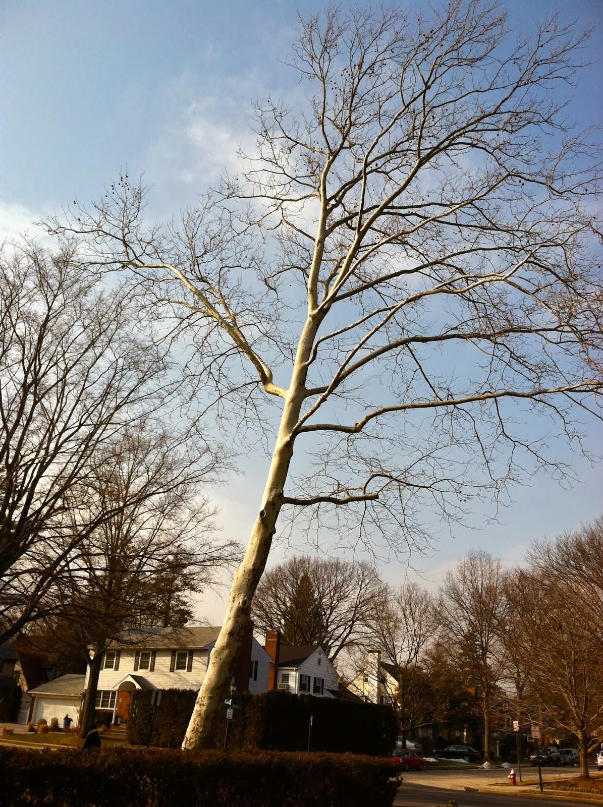 Silver-Bark-Mystery-Tree