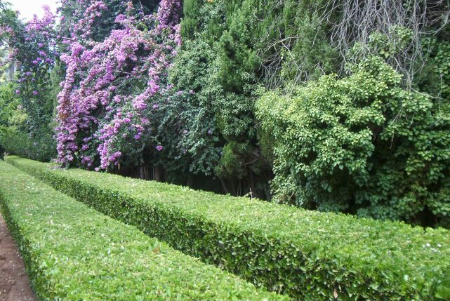Arte y jardiner a setos campestres hermosos y tiles for Arboles hoja perenne para jardin